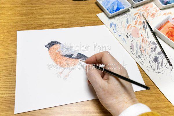 The Bullfinch Watercolour Painting in Progress - Helen Parry Art