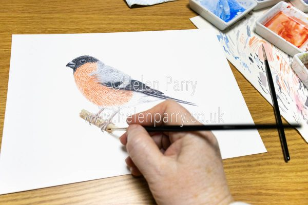 Bullfinch Watercolour Painting in Progress - Helen Parry Art
