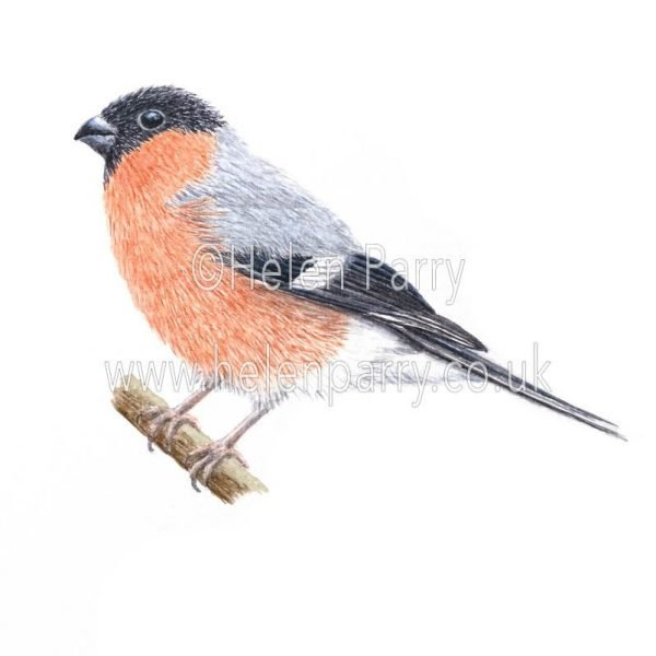greeting card of Bullfinch bird