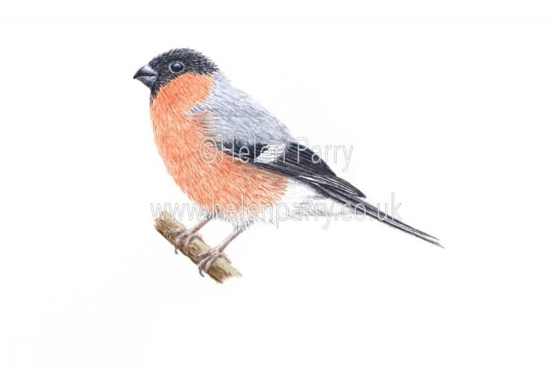 watercolour painting of Bullfinch bird