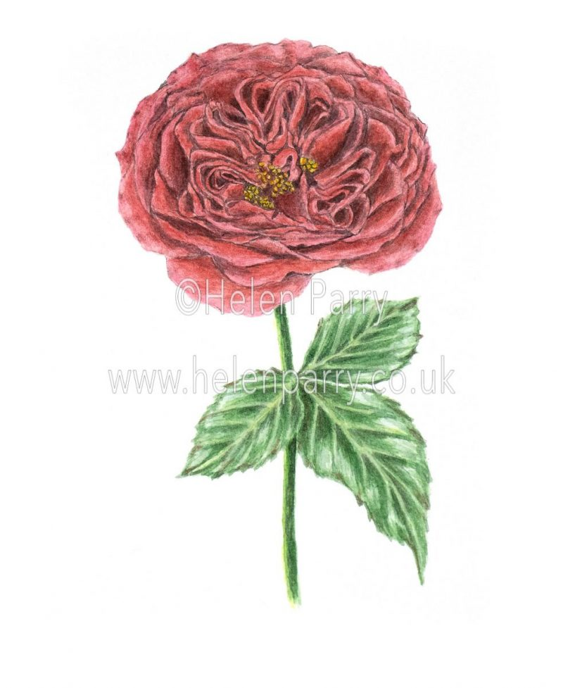 watercolour painting of red rose