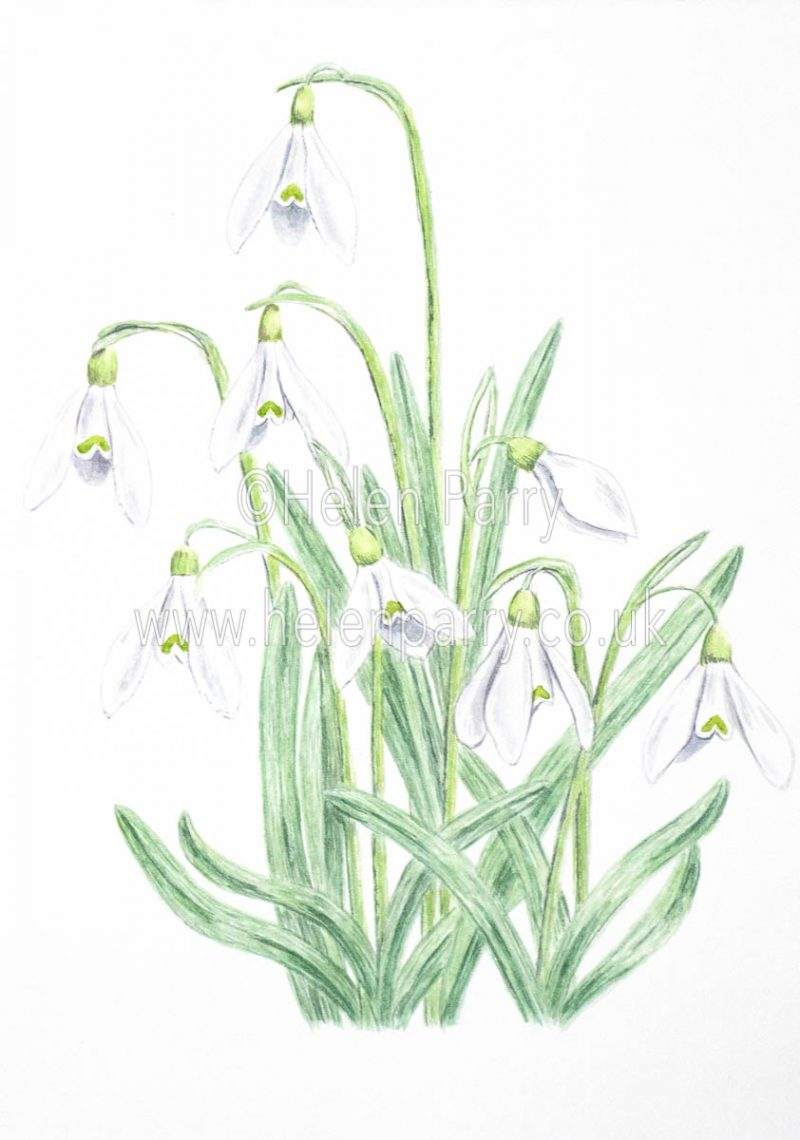 watercolour painting of snowdrops