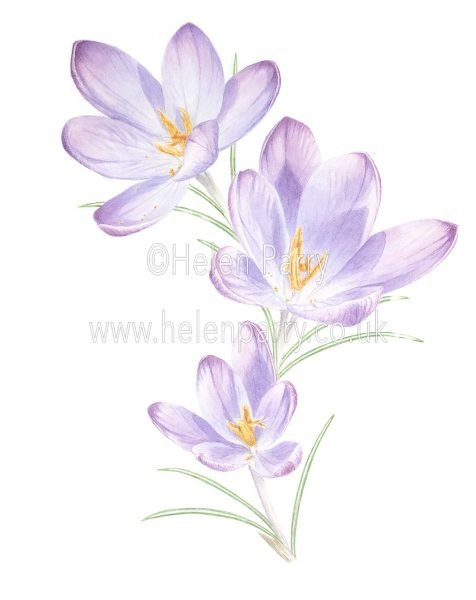 Crocus Watercolour Painting - Helen Parry Artist
