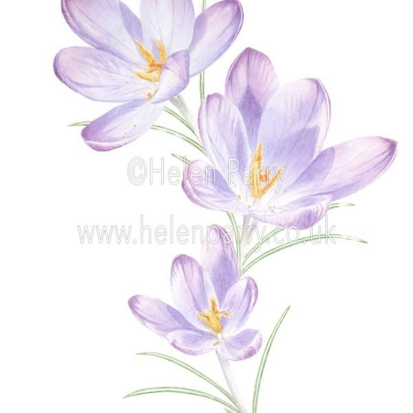 fine art print of Purple Crocuses