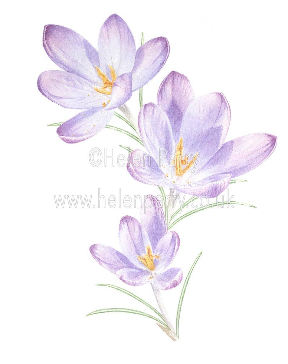 fine art print of Purple Crocuses