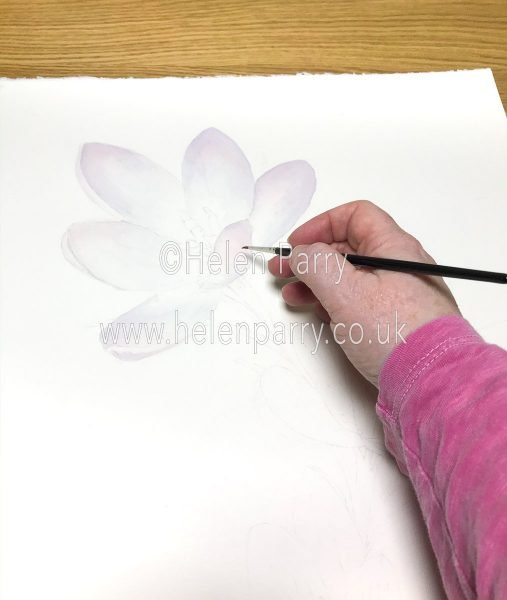 Crocus Watercolour Painting in Progress - Helen Parry Artist