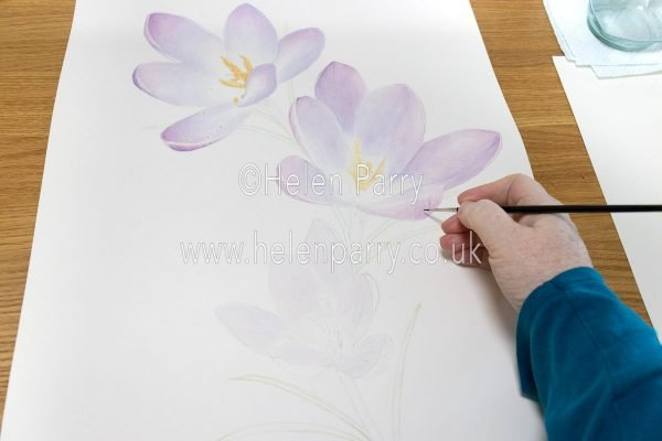 Purple Crocus in Watercolour - Helen Parry Artist