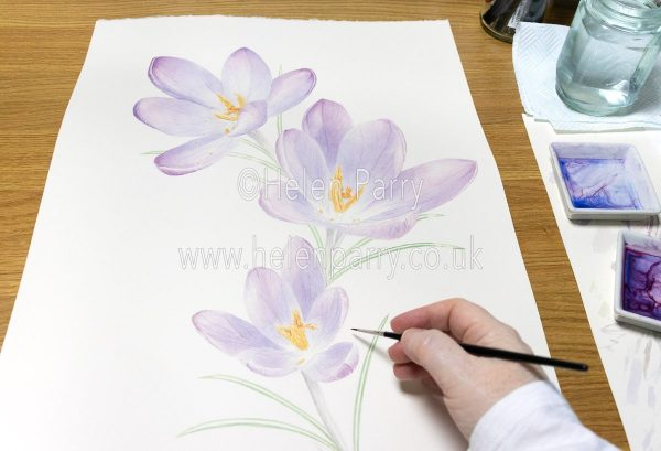 Finishing touches to Crocus Watercolour Painting - Helen Parry Art