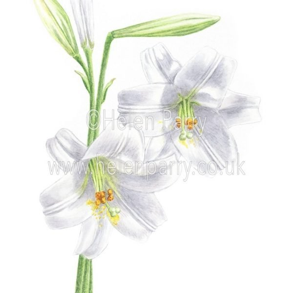 watercolour painting of white lily flowers