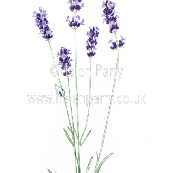 watercolour painting of lavender flowers