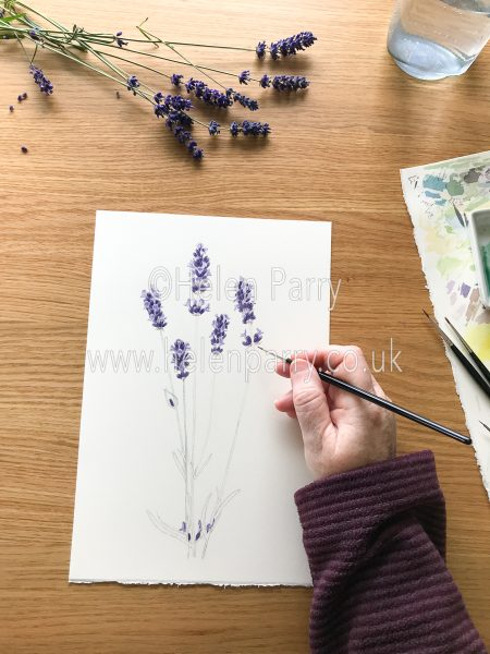 work in progress watercolour painting of lavender flowers